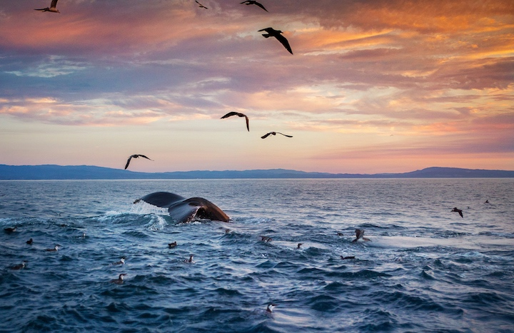 A humpback whales dives into the waters of Monterey bay just as the sun makes its way beneath the horizon.